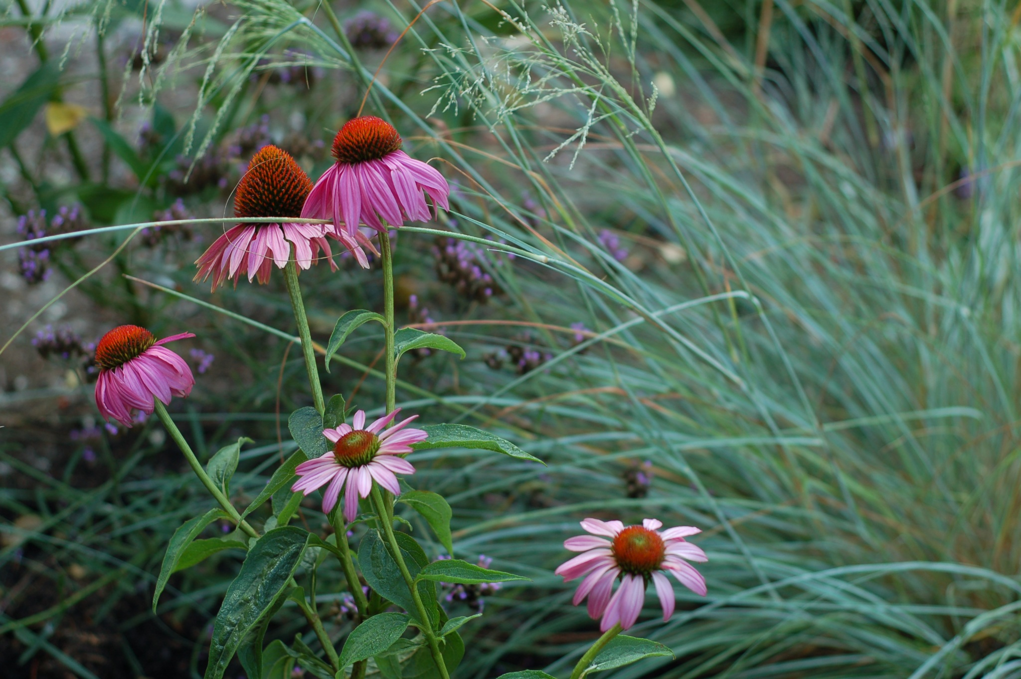 echinacea and wind dancer grass_0036