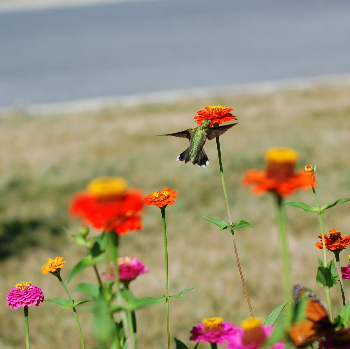 hummingbird_0078