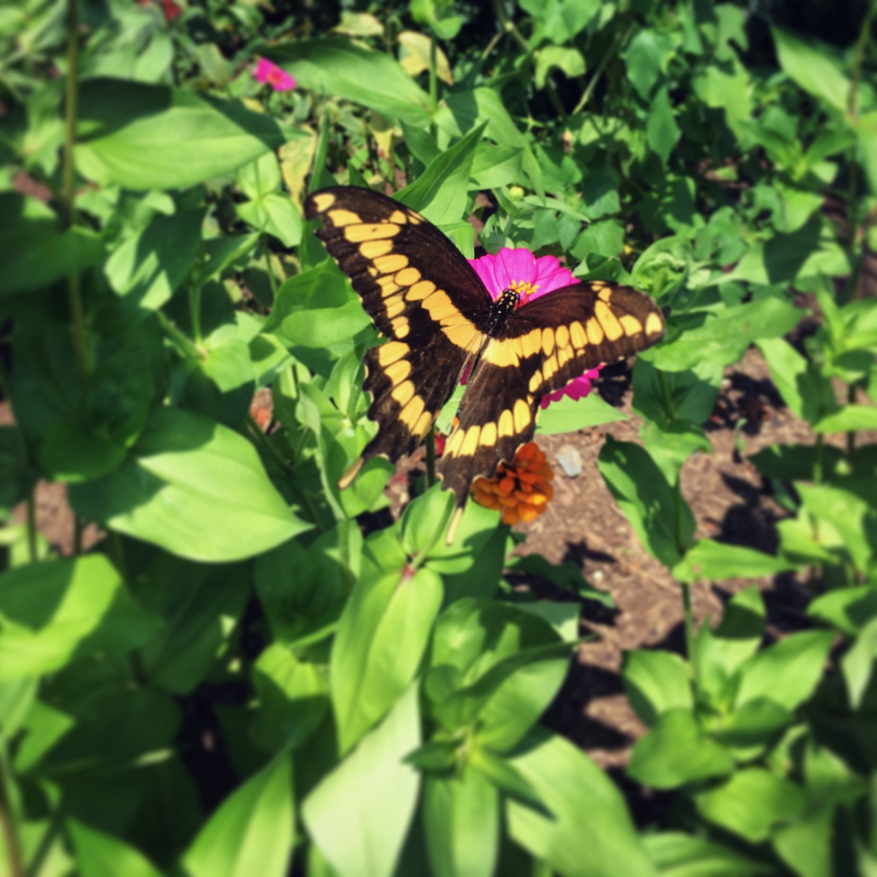 july 29 tiger swallowtail_1872