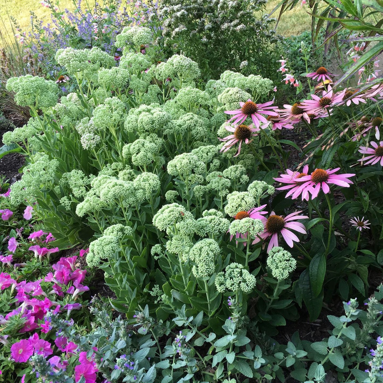 sedum and echinacea_2061