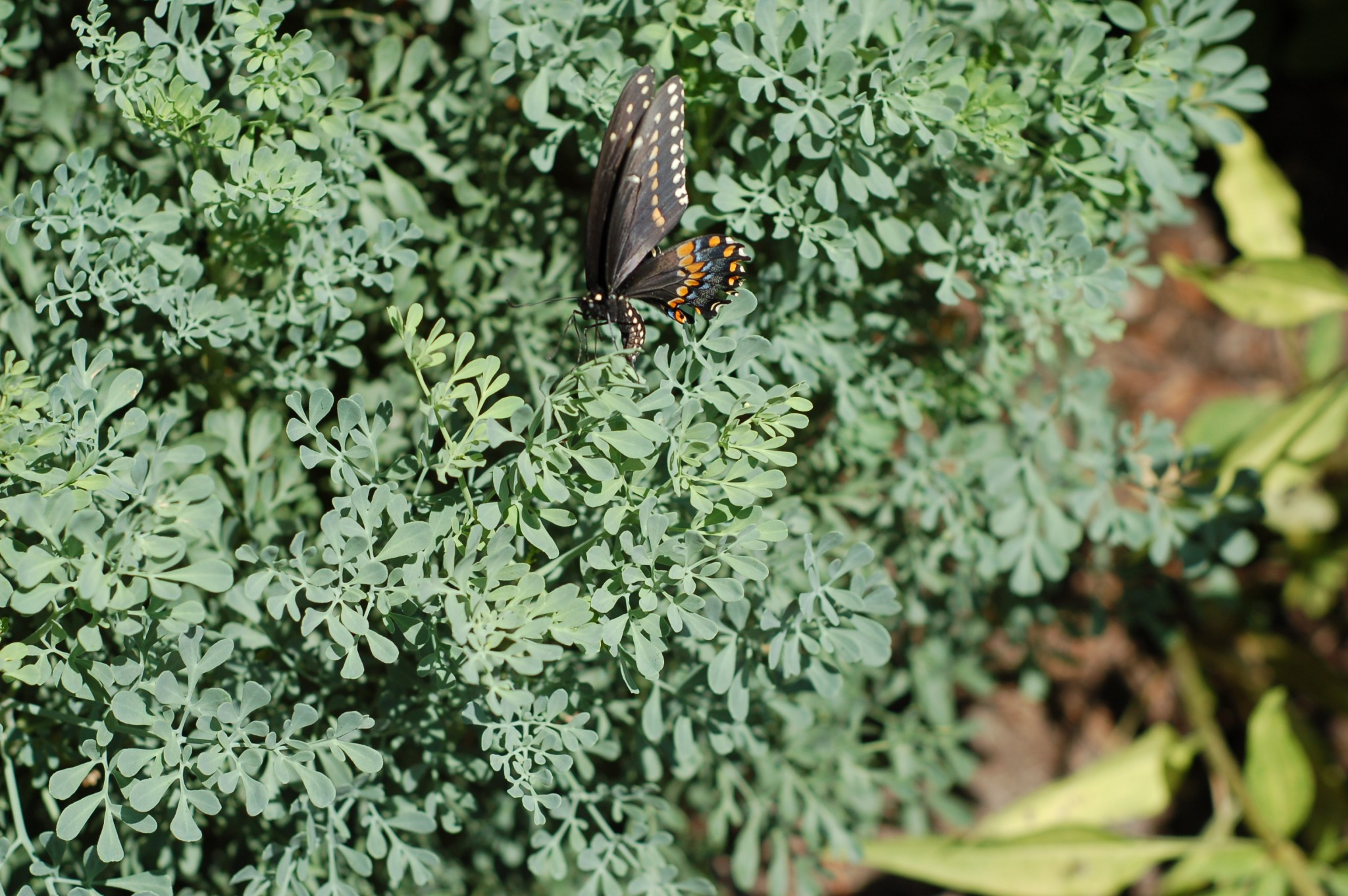 swallowtail laying eggs on rue_0097