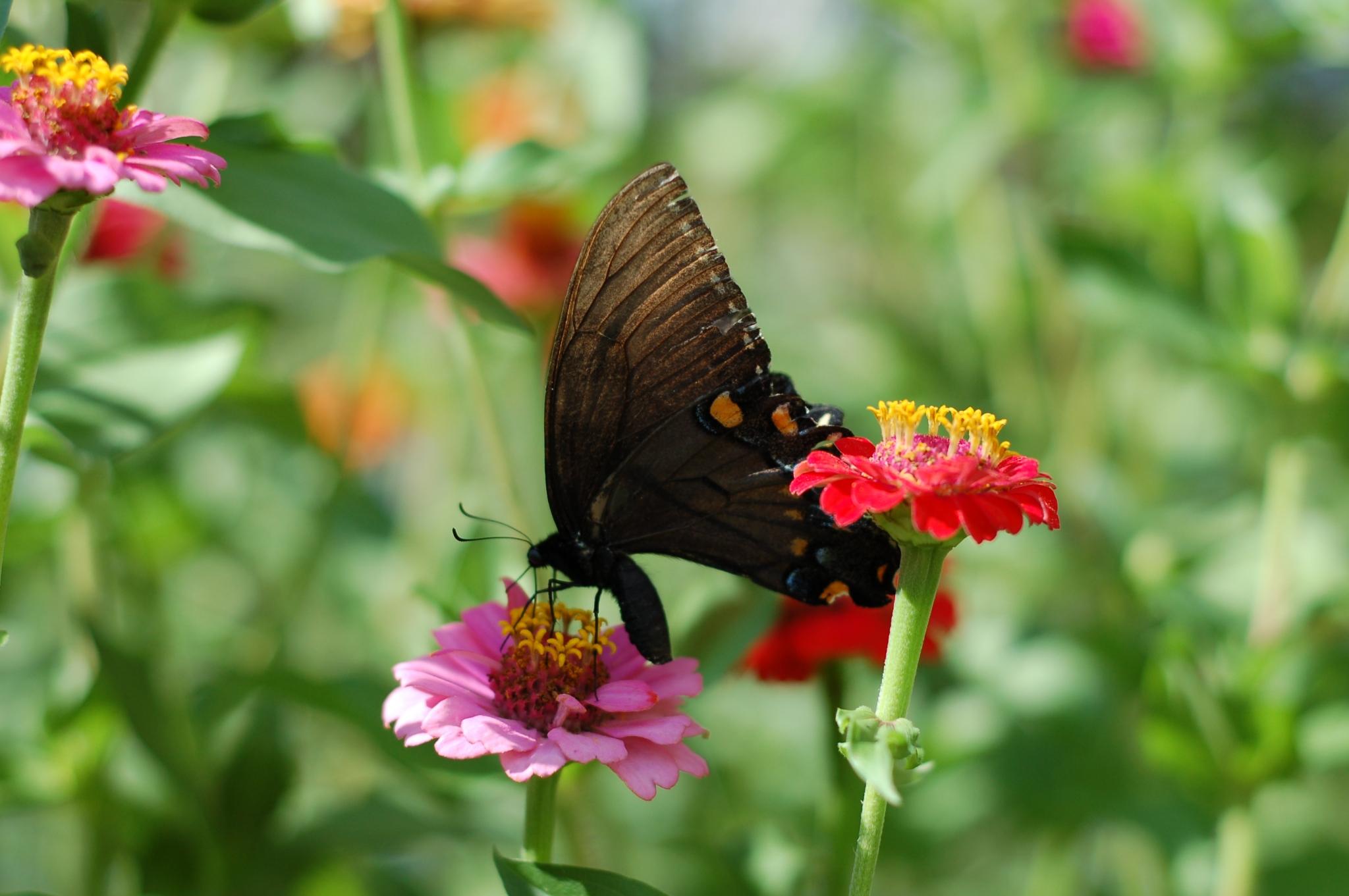 swallowtail zinnia_0018