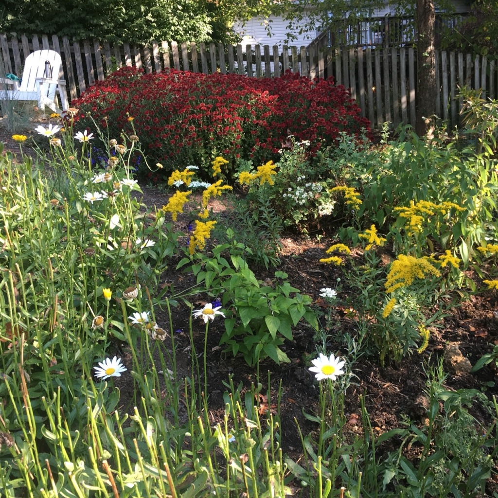 new goldenrod with mature red mums_2187