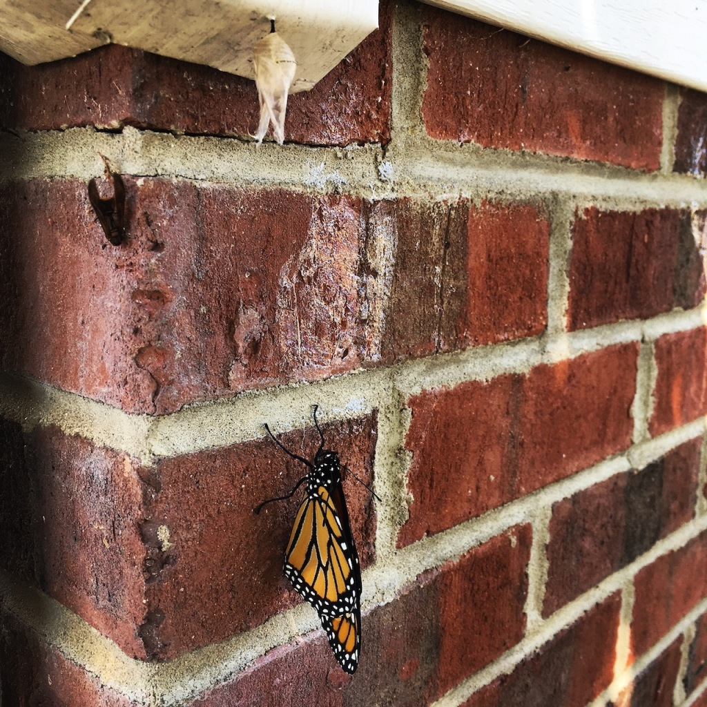 Sep 25 Monarch emerges from chrysalis