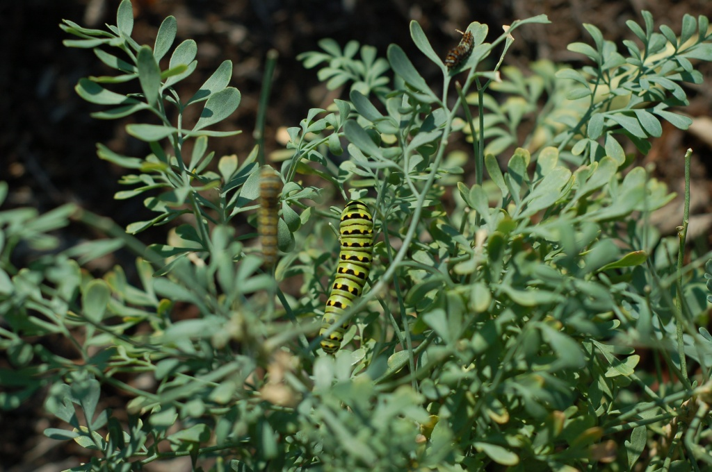 swallowtail caterpillars on rue_0017