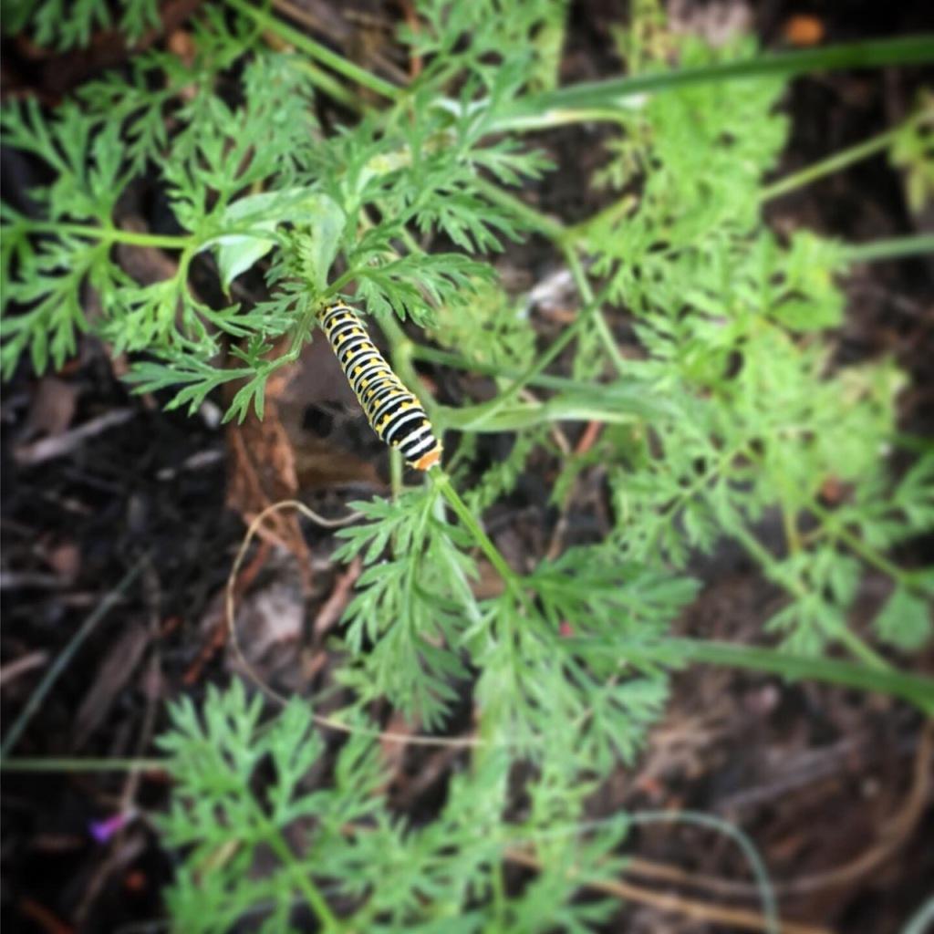 swallowtail_2149